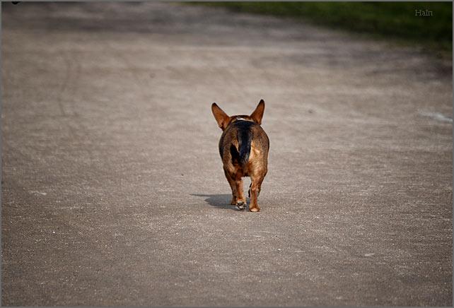 alster_hund