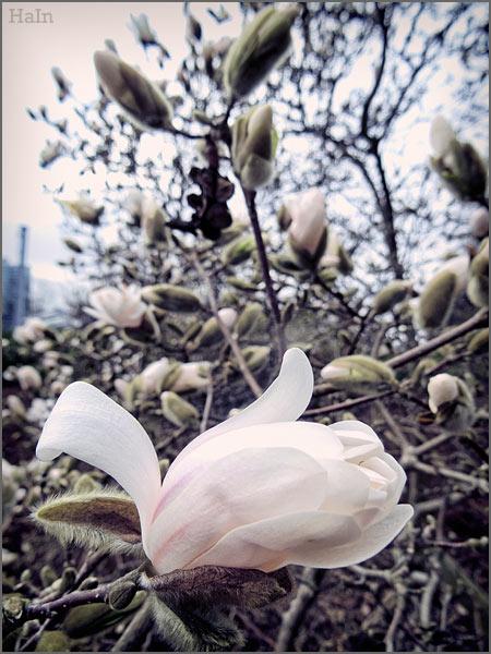 magnolie_cross