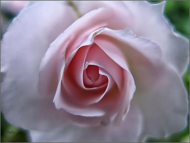 rosendetail