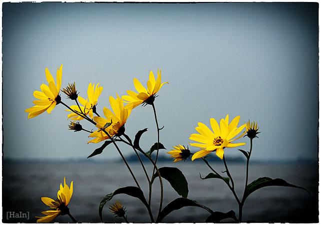 gelbe_blueten2