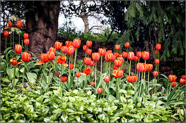 rote_tulpen
